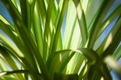 spider plant, spider plant care