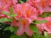 azalea care, azalea plants, azalea flowers, growing azaleas