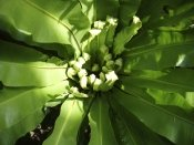 bird nest fern, bird nest fern care