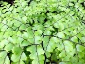 maidenhair fern, maidenhair fern care