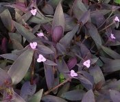 purple heart plant, tradescantia pallida