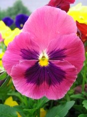 Pansy Plants Care Tips Growing Pansies In Pots Viola