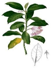 wax plant flower, hoya plant, hoya carnosa