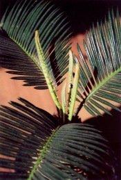 sago palm care, cycas revoluta