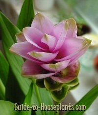 siam tulip care tips growing curcuma alismatifolia indoors. Black Bedroom Furniture Sets. Home Design Ideas