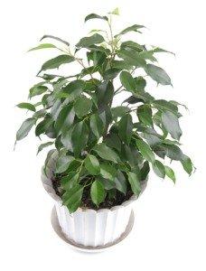 Large House Plants, Tall House Plants
