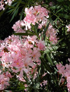 how to grow oleander into a tree