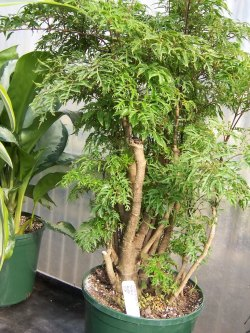 Ming aralia plant care polyscias fruticosa Easy small house plants