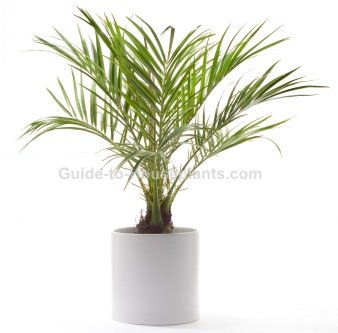how to take care of a palm tree plant