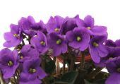 blooming african violet