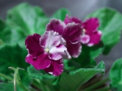 african violet plants, how to grow african violets