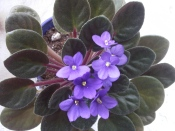 african violet, caring for african violets