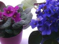 african violet plants, caring for african violets