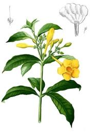 allamanda cathartica, allamanda plant