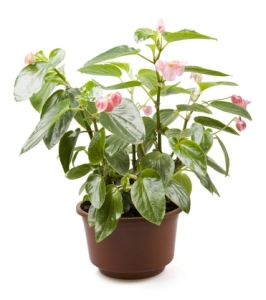 angel-wing-begonia-2 House What Plant The Is Spotted Name Of Pink on