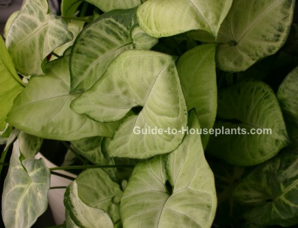 arrowhead plant syngonium podophyllum picture care tips. Black Bedroom Furniture Sets. Home Design Ideas