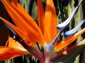 bird of paradise plant, bird of paradise flower