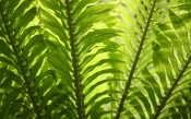 boston ferns, caring for boston ferns