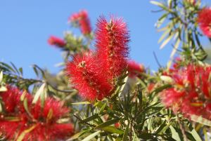 bottle brush plant, crimson bottlebrush