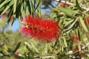 bottle brush flower, crimson bottle brush
