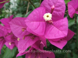 perennial flowering vines, bougainvillea flowers, bougainvillea plants