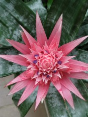Urn Plant Aechmea Fasciata Picture Care Tips