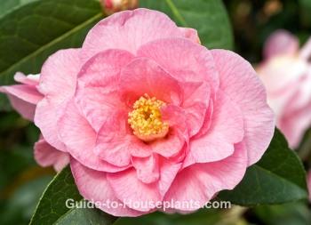 camellia flowers, camellia japonica, camellia plant
