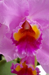 cattleya orchids, care of orchids