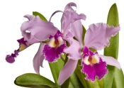 cattleya orchids, cattleya care