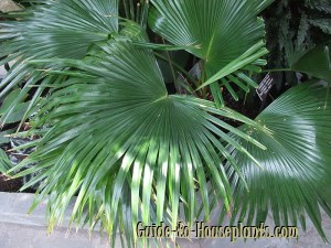 chinese fan palm, livistona chinensis