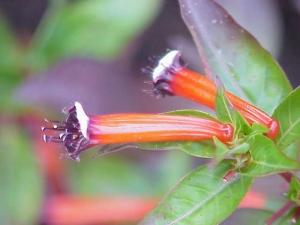 cigar plant, cuphea ignea, cigar flower, mexican cigar plant