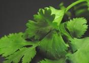 cilantro leaves, growing cilantro, cilantro plant