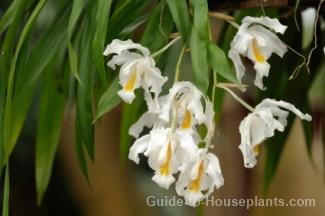 coelogyne cristata, coelogyne orchid, coelogyne alliance
