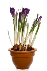 crocus, crocus bulbs, crocus flowers