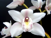 cymbidium orchid plants, indoor orchids caring for