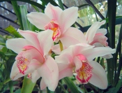 pink cymbidium orchid, cymbidium care, care of cymbidium orchids