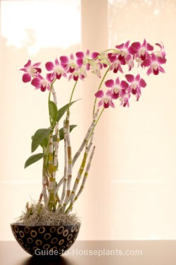 Dendrobium orchid care tips - How to care for potted orchids ...