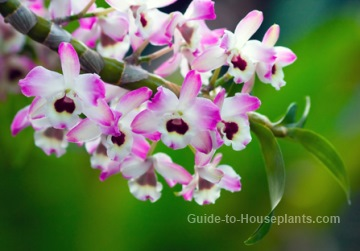 dendrobium orchid care, indoor orchids caring for