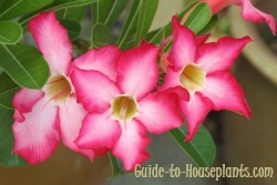 desert rose plant, desert rose flower, desert rose plant care