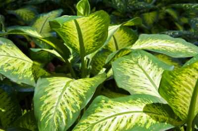 Large Leaf Tropical House Plants Images