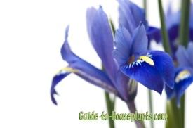 iris plants, iris reticulata, mini iris, dwarf iris