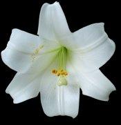 lilium longiflorum, easter lily care