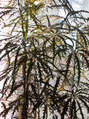 false aralia, finger aralia, dizygotheca elegantissima, large house plants, tall house plants