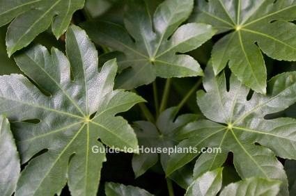 japanese aralia fatsia japonica picture care tips. Black Bedroom Furniture Sets. Home Design Ideas