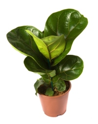 fiddle leaf fig, fiddle leaf fig house plants
