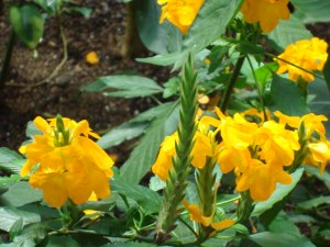 firecracker flower, yellow crossandra, crossandra infundibuliformis