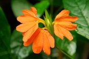 firecracker flower, orange crossandra, crossandra infundibuliformis