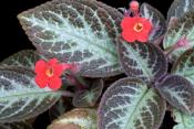 flame violet, episcia cupreata