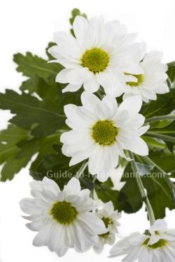 Florist Chrysanthemum Chrysanthemum Morifolium Picture