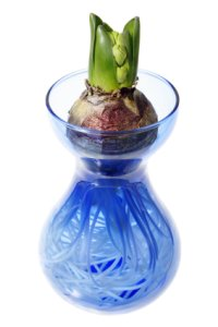 forcing hyacinth bulbs, forcing hyacinth, hyacinth vases